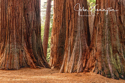 Giant Sequoia Grove, Kings Canyon National Park, California