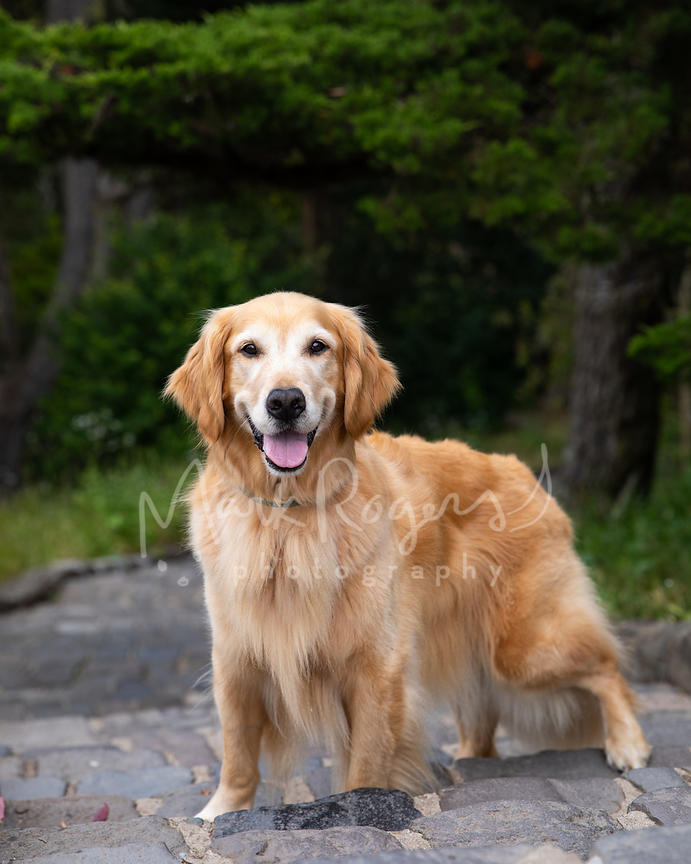 Grinning Golden Retriever on Stone Stairway