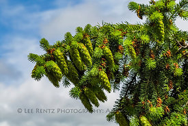 Douglas Fir Branches and Cones in Olympic National Forest