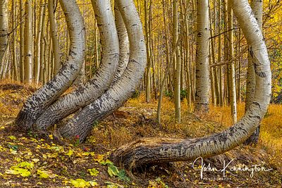 Dancing Aspens No. 4, Uncompahgre National Forest, Colorado