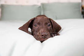 Pointer Puppy Lying on Bed Awake