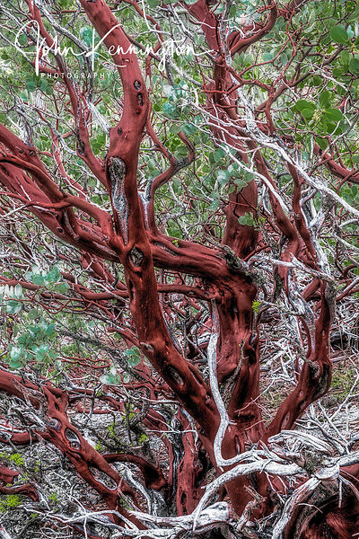 Manzanita Tree, Yosemite National Park, California