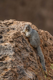 Rock Squirrel in City of Rocks State Park, New Mexico