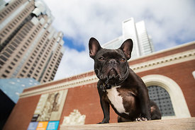 Black and White French Bulldog Looking Down with SF Museum in Background