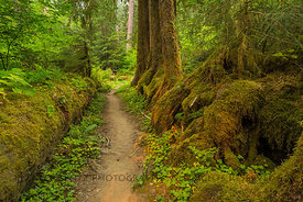 Nurse Log in the Hoh Rain Forest in Olympic National Park