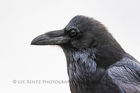 Common Raven in Chaco Canyon