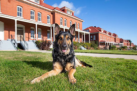 Smiling German Shepherd Lying Down on Presidio Lawn in San Francisco