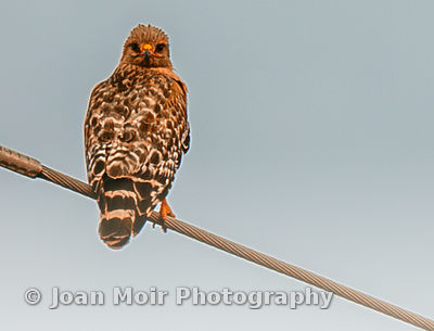 Red-Shouldered_Hawk_I