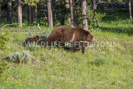 grizzly_bear_tetons_06202020-88
