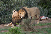 Male lions at a kill, Panthero leo, Addo Elephant National Park, South Africa