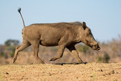 Warthog running with tail up, Phacochoerus africanus, Welgevonden Game Reserve, South Africa