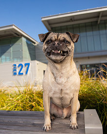 Pug with Funny Smile Sitting on Bench Near Pier in San Francisco