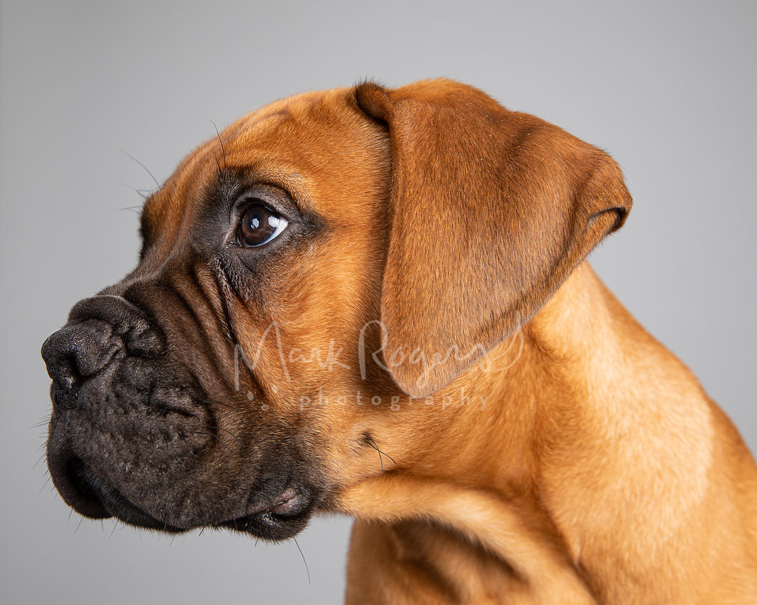 Bull Mastiff Puppy Left Profile on Gray Background