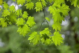 Vine Maple Leaves with Raindrops in Federation Forest State Park