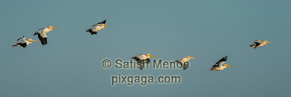 American White Pelicans in flight, Don Edwards San Francisco Bay Wildlife Refuge, Alviso, CA, USA
