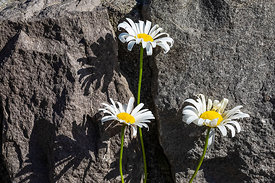 Oxeye Daisy in Mount St. Helens National Volcanic Monument