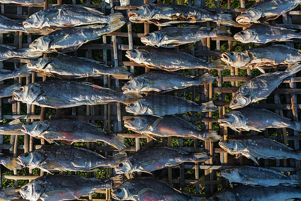 A Closeup of Fish Drying on Bamboo Racks