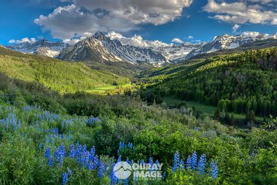 Mount Sneffels Spring Lupines - Large Print Option