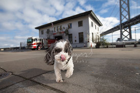 Small Dog Licking Nose Near Bay Bridge Fire Station