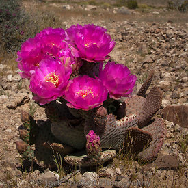 _MG_7756_Opuntia_in_bloom_12x12