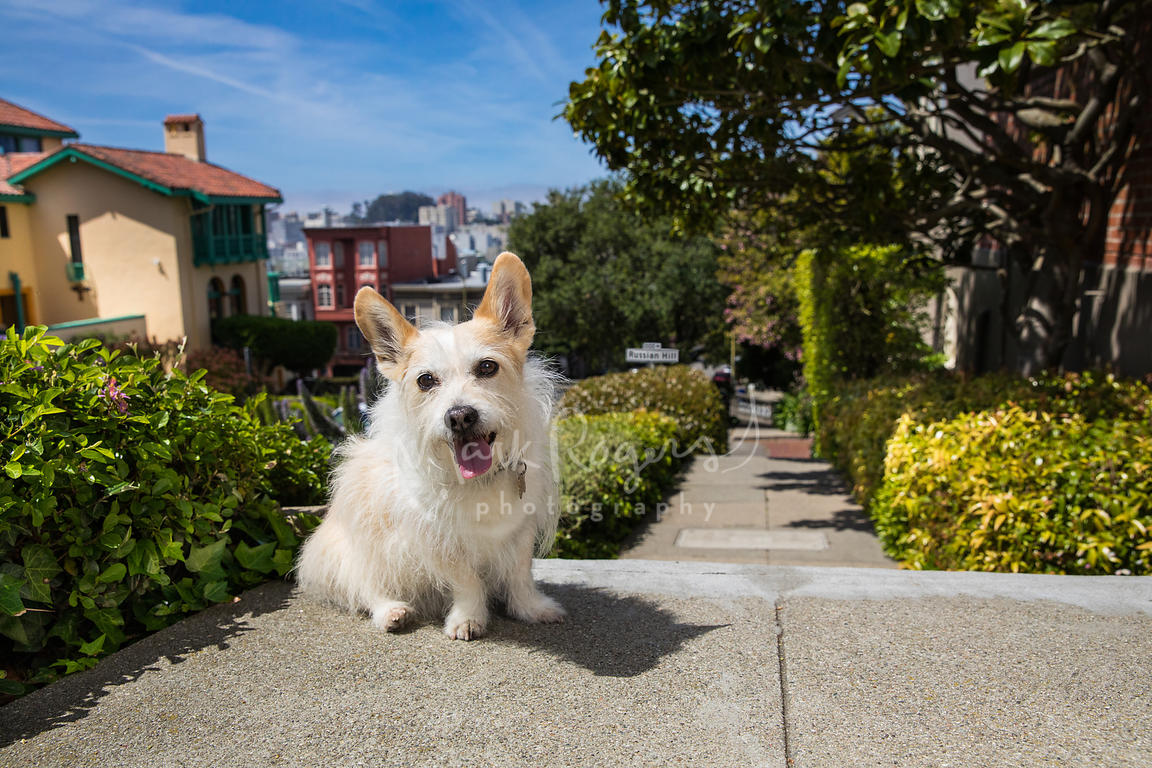 Terrier Corgi Mix  Sitting on Russian Hill in SF