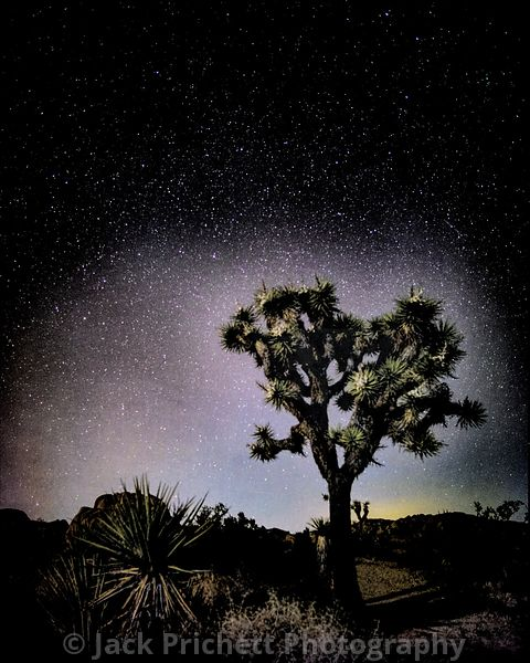 Joshua Trees in a new light