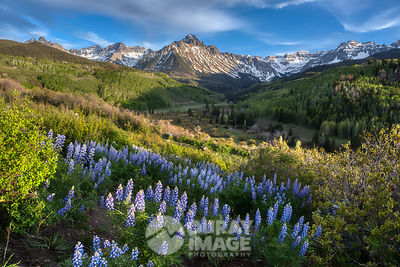 Evening Lupine Sneffels - Horizontal