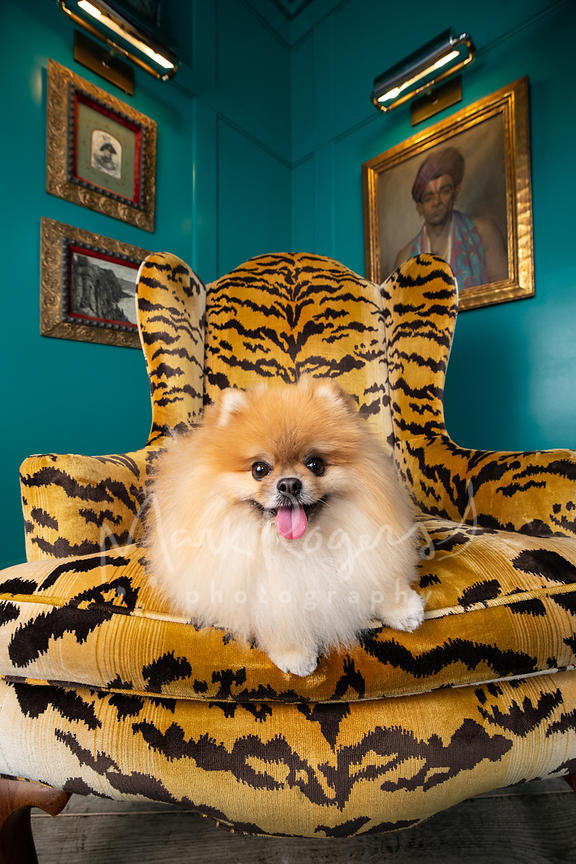 Smiling Pomeranian in Patterned Designer Chair