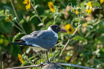 Laughing Gull on Post, Rockport, Texas