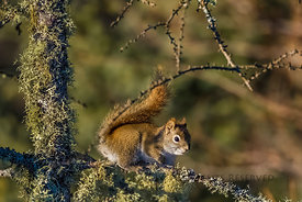 American Red Squirrel in Minnesota's Sax-Zim Bog