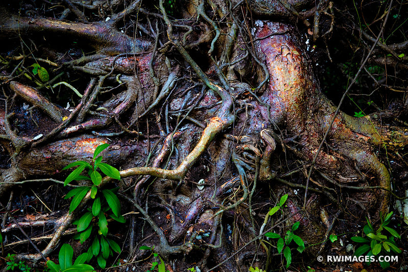 TREE ROOTS NATURE ABSTRACT GUMBO LIMBO TRAIL EVERGLADES FLORIDA