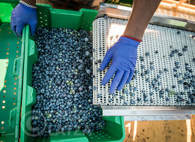 Sorting blueberries on a farm in Oregon.