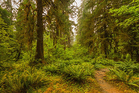 Sitka Spruce and Sword Fern in the Hoh Rain Forest