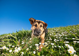 German Shepherd Mix Puppy in Grass and Flowers