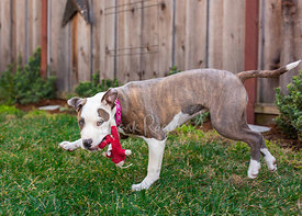 Pit bull Puppy Running with Stuffed Toy In Mouth