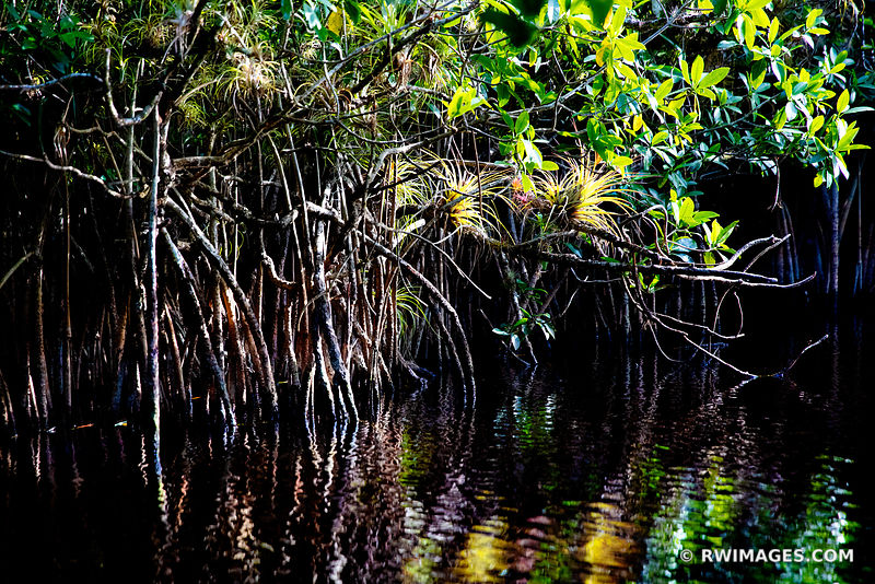 MANGROVE TUNNEL BROMELIADS TURNER RIVER CANOE TRAIL BIG CYPRESS NATIONAL PRESERVE EVERGLADES FLORIDA