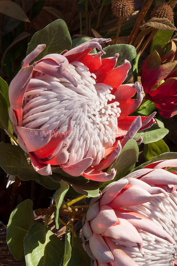 The King Protea of South Africa