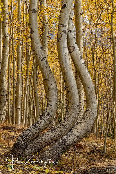Dancing Aspens No. 5 (Vertical), Uncompahgre National Forest, Colorado