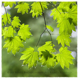 VINE MAPLE IN THE RAIN