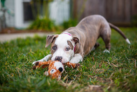 Pit Bull Puppy with Stuffed Animal Toy on Grass