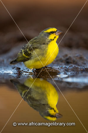 Yellow-fronted canary, Crithagra mozambica, Zimanga Game Reserve, South Africa