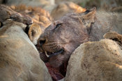 Lion feeding on a kill, Panthera leo, Thanda Game Reserve