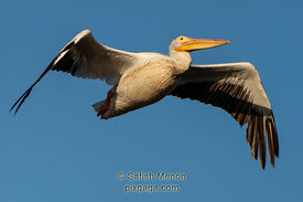 American White Pelican in flight, Don Edwards San Francisco Bay Wildlife Refuge, Alviso, CA, USA