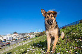 German Shepherd Mix Puppy Sitting on San Francisco Hill