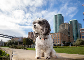 White and Grey Maltipoo Dog Sitting in SF Embarcadero Park