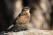 Rock bunting, Emberiza cia, Marakele National Park, Waterberg, South Africa
