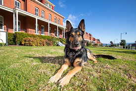 German Shepherd Lying Down on Presidio Lawn in San Francisco