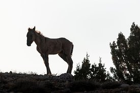 Young Wild Horse in Bighorn Canyon
