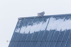Snowy Owl in Rudyard Area of Michigan