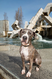 Pit Bull Sitting in Front of  Fountain in San Francisco Plaza